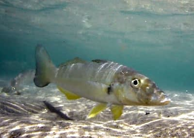 Wading For Whiting