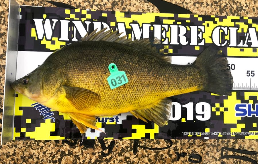 This is the way you should photograph your catch. Note that this golden perch's nose is hard against the zero mark and its mouth is closed. The designated item or code would be placed where the numbered entry tag is in this image. This entry would be recorded as measuring 51cm (rounded up to the nearest whole centimetre) and would score 78 points.